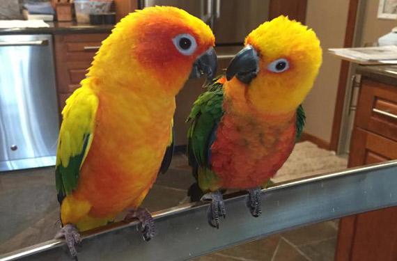conure adoption