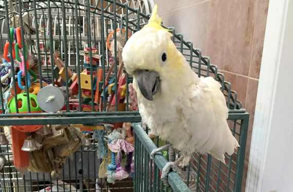 Cockatoos Available for Adoption