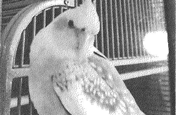 Lost Cockatiel - Cocoa