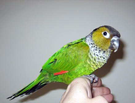 Cedric - Black-Capped Conure