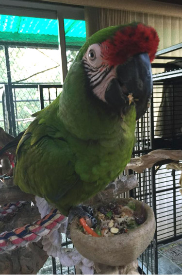 macaw adoption